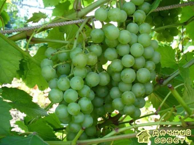 Сорт винограда «Соловьева 58»