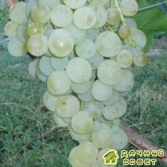 Сорт винограда «Суручанский белый»