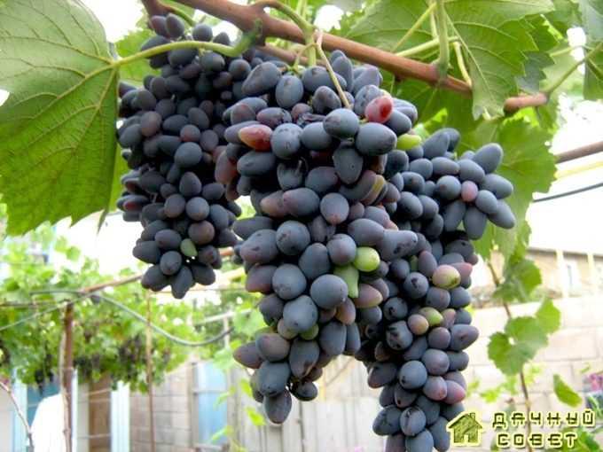 Сорт винограда «Виерул 59»