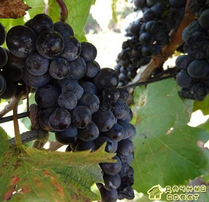 Сорт винограда «Заря севера»