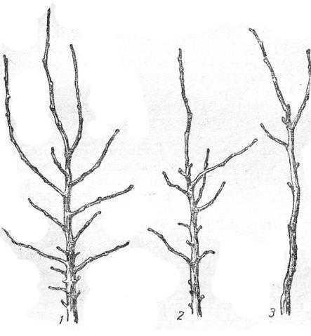 Сорта яблони с различной возбудимостью почек и разной побегопроизводительной способностью: 1 — Антоновка обыкновенная; 2 — Грушов. а московская; 3 — Коричное полосатое
