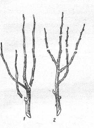 Способы обрезки:— прореживание и удаление прироста на кольцо; 2 — подрезка (укорачивание) годичных приростов