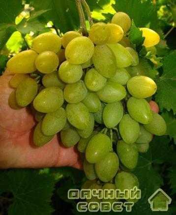 "Сорт винограда ""Юбилей-70"""