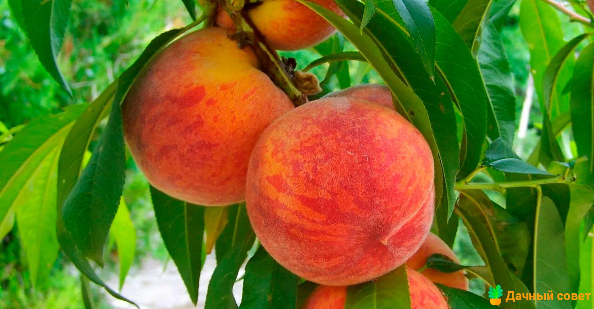 Персик Золотистый