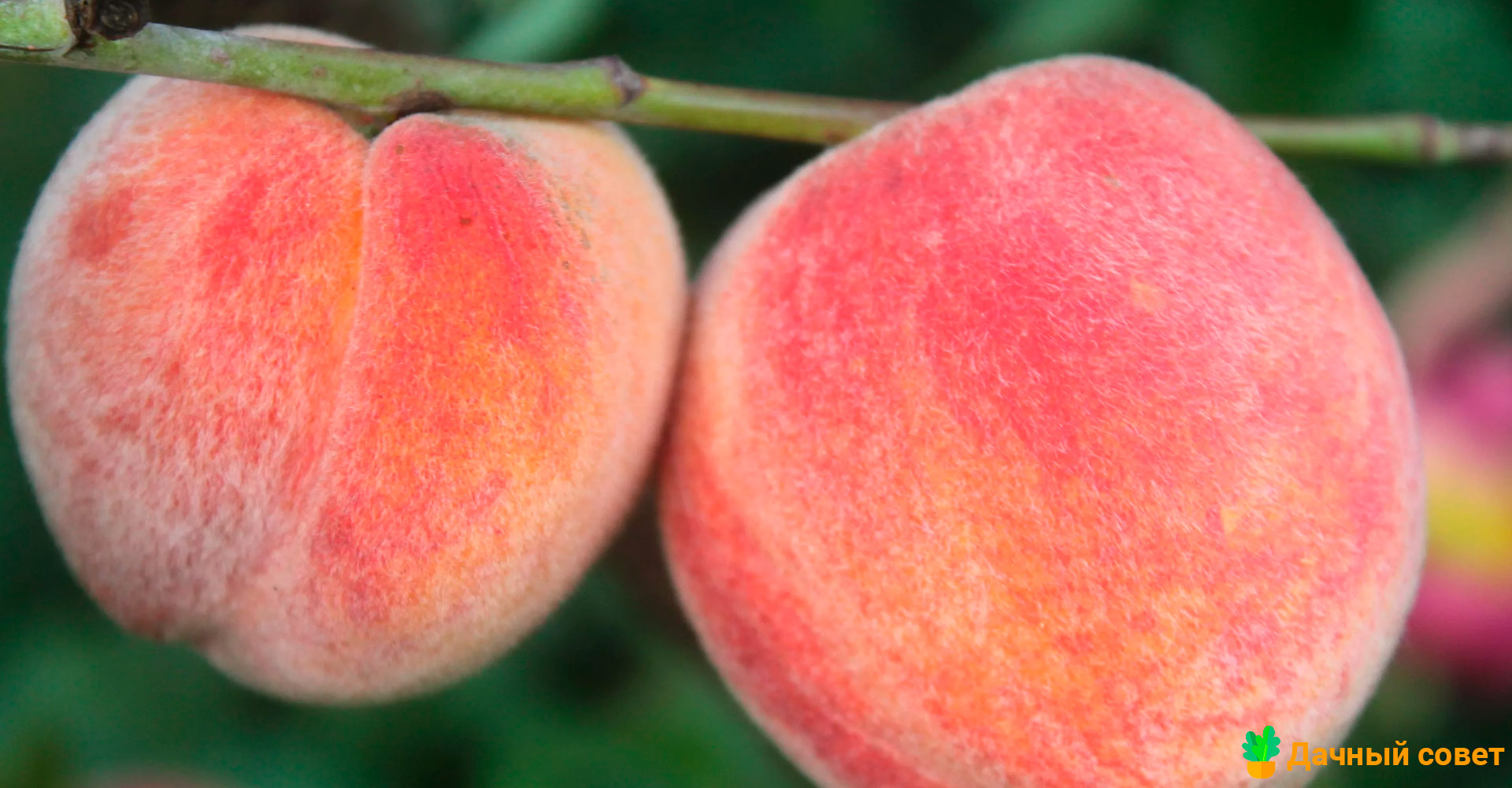 Персик Княжья роскошь