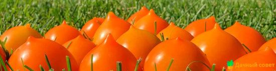 Всепогодный Утенок (томат)
