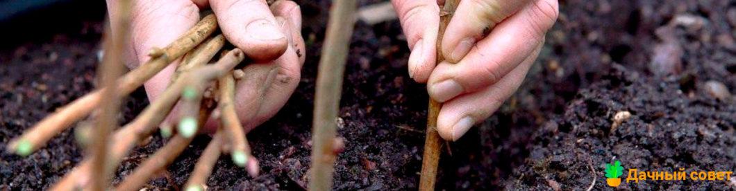 Закладка винограда