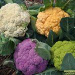 Цветная капуста из собственных семян? Сложно, но можно!