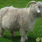 Белая пуховая порода коз