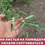 Если листья на помидорах начали скручиваться