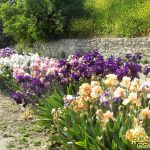 Ирис садовый-чудо цветок