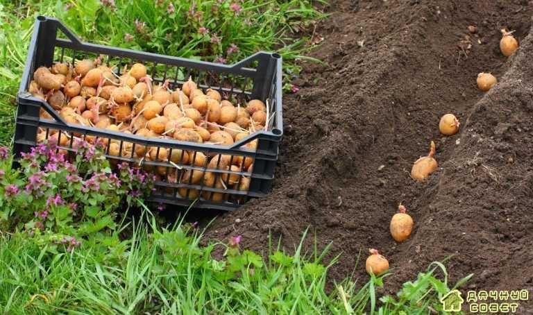 Оптимальные условия посадки картофеля