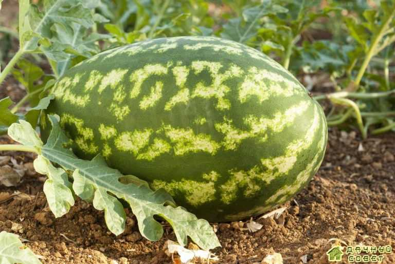 Особенности выращивания арбуза