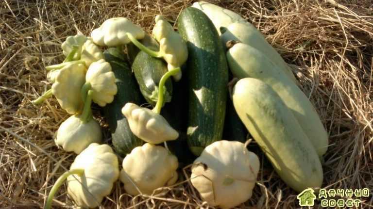 Особенности выращивания кабачков и патисонов