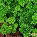 Особенности выращивания петрушки