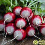 Особенности выращивания редиса