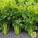 Особенности выращивания сельдерея