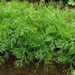 Особенности выращивания укропа