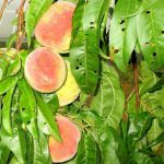 Персик.Основные сорта-эталоны