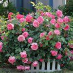 Почему гибнут розы