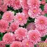 Размножение георгинов и хризантем(черенкование)
