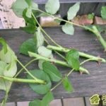 Размножение розы черенками