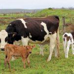 Разведение коров