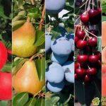 Строение плодовых и ягодных культур