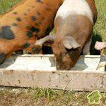 Свиноводство.Кормление свиней