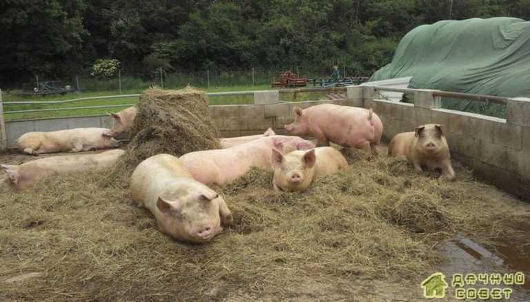 Свиноводство.Выращивание свиней