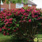 Вейгела-садовая красотка