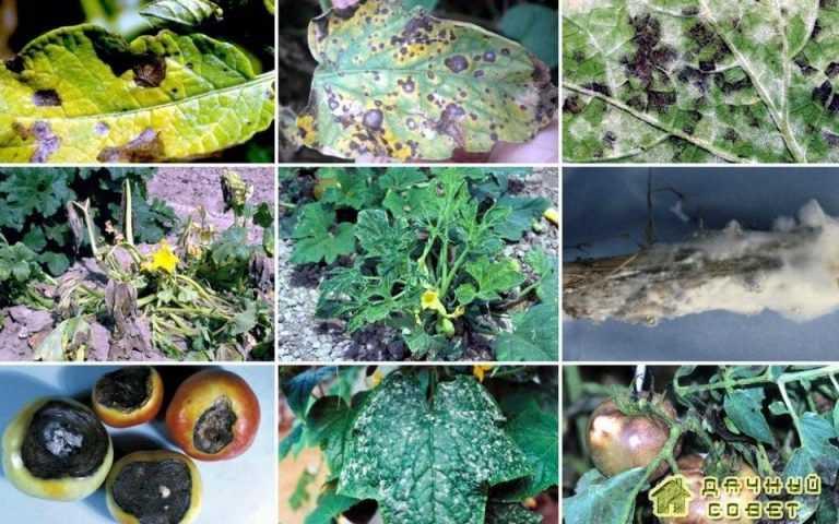 Заболевания овощных культур и защита от них (с фото)