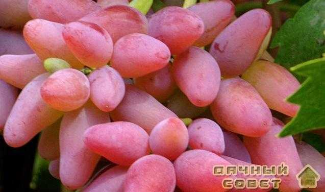 Защита винограда от вредителей и болезней