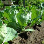 Капуста белокачанная от посева до урожая или как вырастить капусту