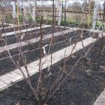 Обрезка и формирование кустов винограда