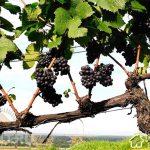 Общая характеристика виноградного куста