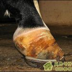 Ревматическое воспаление копыт у лошадей