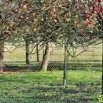 Уход за старым плодовым садом