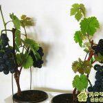 Выращивание винограда в комнатных условиях