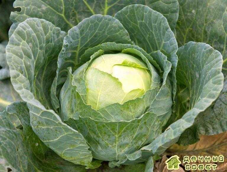 Особенности выращивания капусты