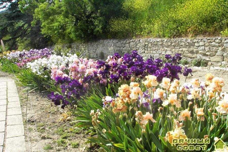 Ирис - садовый чудо-цветок
