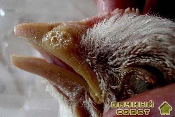 Инфекционные болезни птиц
