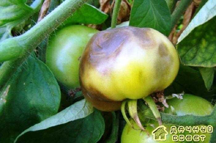 Вредители и болезни томатов, перца, баклажанов (с фото)