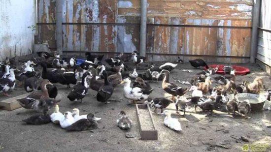 Разведение и выращивание домашней птицы. Куры. Индюшки. Утки