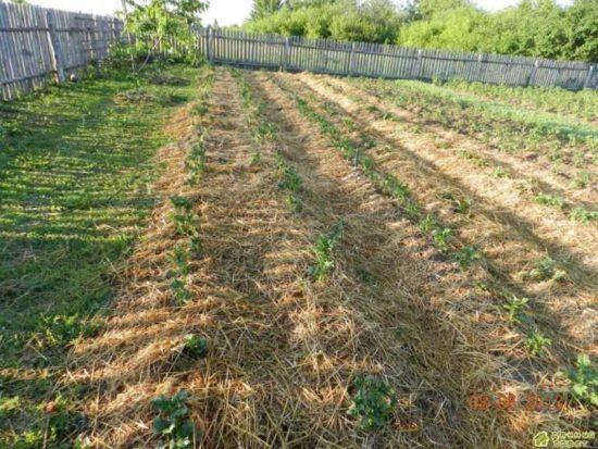 Как лучше посадить картофель?