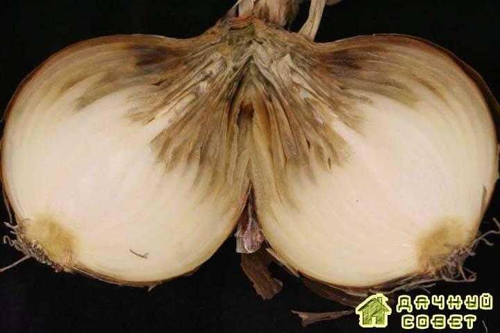 Вредители и болезни лука и чеснока (с фото)