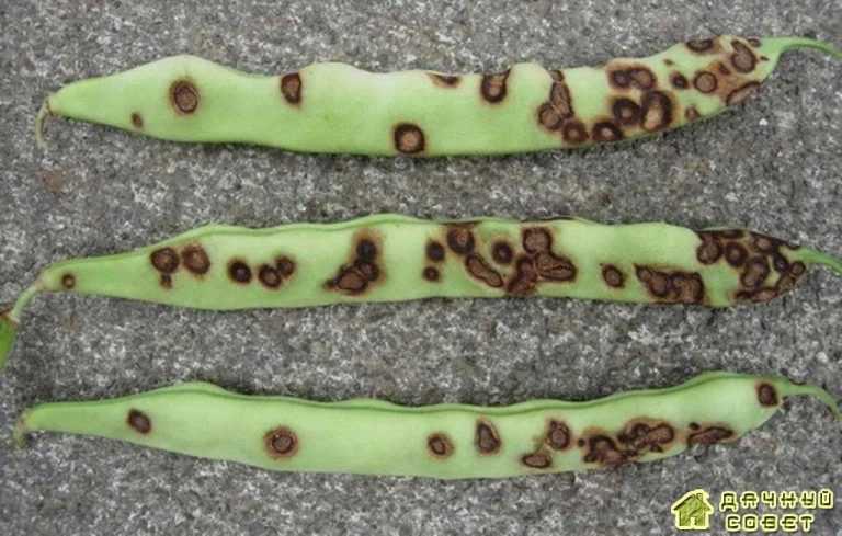 Вредители и болезни гороха и других бобовых культур (с фото)