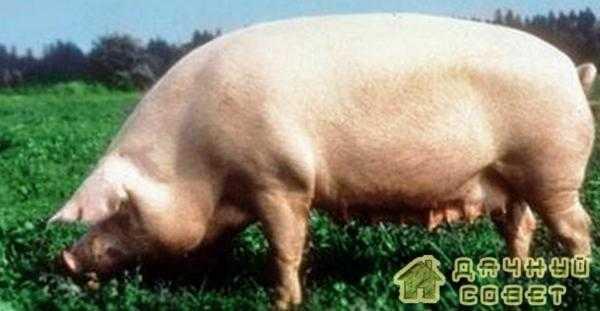 Свиноводство. Породы свиней (с фото)