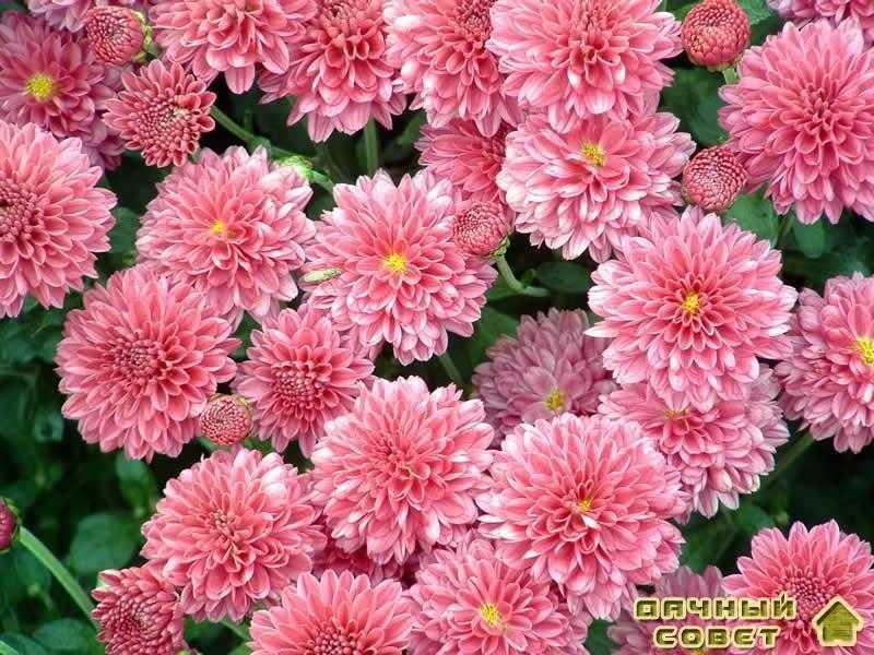 Размножение георгинов и хризантем (черенкование)