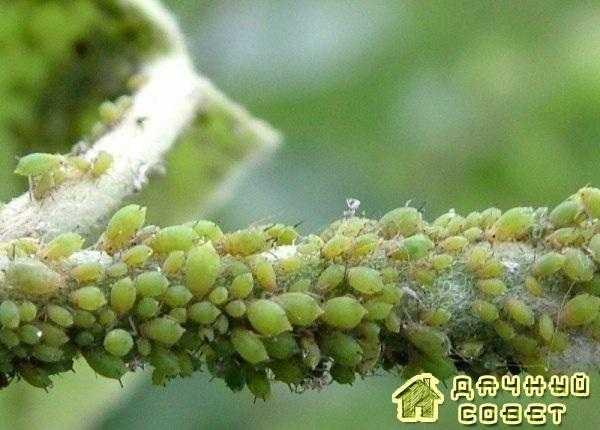 Вредители  семечковых и косточковых культур (с фото)